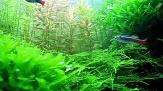 Fauna i Flora w moim akwarium 112l Tanichthys albonubes