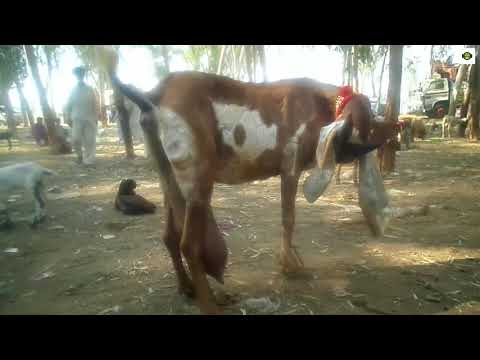 BEETAL GOAT WITH TWO BABAY (PRICE 60000)    Best beetal breed in