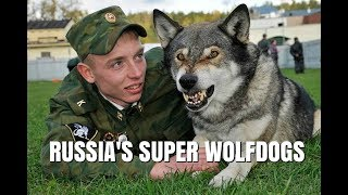 VOLKOSOBY - RUSSIA'S POWERFUL & SECRET WOLF DOGS / Animal Watch