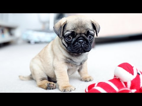 PICKING UP MY PUG PUPPY!