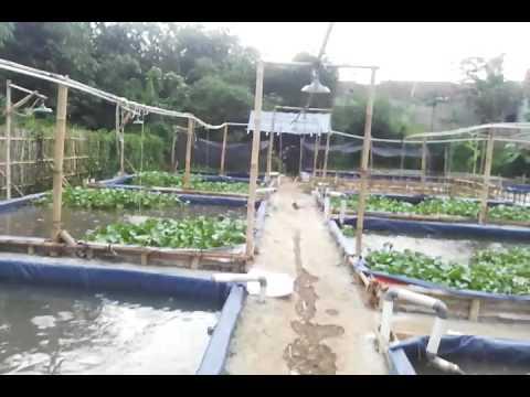 Video percobaan eceng gondok sebagai  solusi meningkatkan kualitas air dalam beternak lele sangkuriang