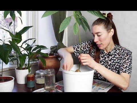 hur odla avokadokärna