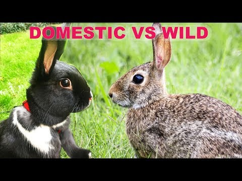 , title : 'The Difference Between Wild & Domestic Rabbits!