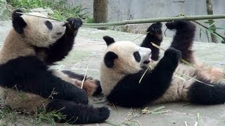 preview picture of video 'Panda Cubs at Bifengxia 子 パンダ 雅安 碧峰峡 四川省'