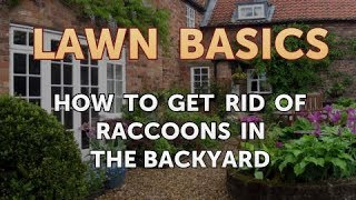 How to Get Rid of Raccoons in the Backyard