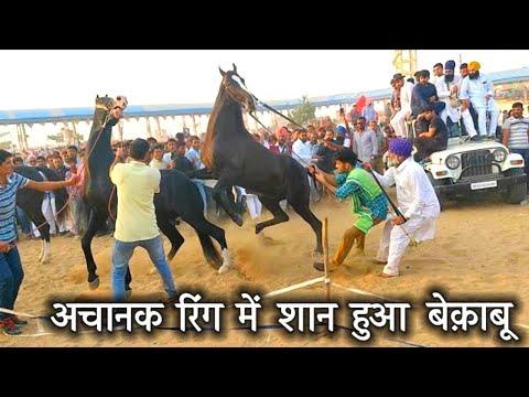 Pushkar fair Stallion Ring _Indian Marwadi Horse🏇Show_पुष्कर मेला|Shan in Ring