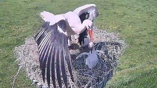 Mother THROWS OUT an Immature baby from nest   Stork bird   White Stork Nest   baby bird   nestwatch