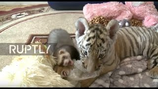 Russia: 'Amur' the tiger's son befriends 'impudent' ferret while in care