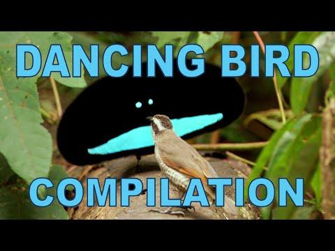 Esses pássaros dançarinos são estranhamente adoráveis