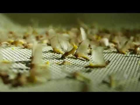 Bagres amarillos comiendo mayflies en superficie. Río Paraná. Argentina.