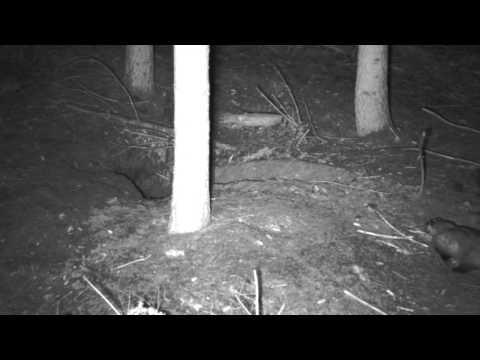 Kampf zwischen Dachs und Fuchs