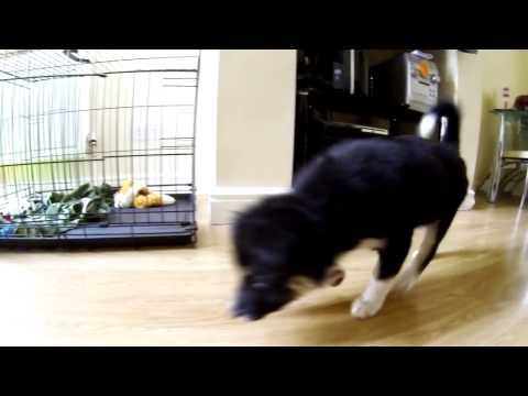 Border Collie Puppy chasing laser dot