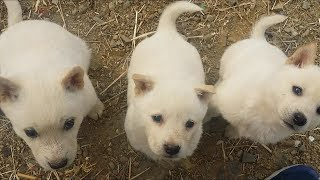 나만 보면 달려드는 네마리의 강아지 ( 4 puppies attack)