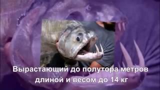 ТОП-10 Ужасающих рыб-убийц