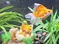 High Grade Ryukin Goldfish Display ShowFish2019