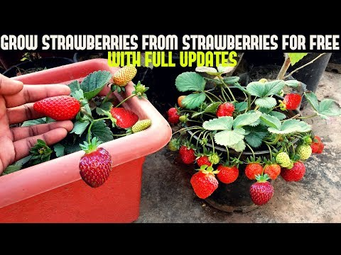 How To Grow Strawberries From Seed (WITH UPDATES)