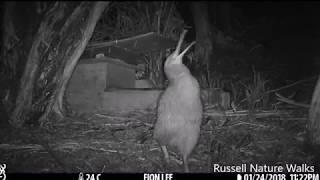Male Kiwi Calling