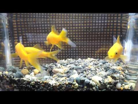 レモンコメット 金魚 goldfish