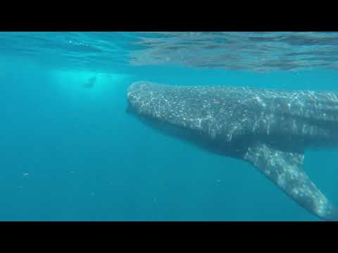 1 Whale Shark Holbox, Mexico 07_2018