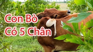 Chuyện lạ có thật, con bò có 5 chân ở Huế | Cow with 5 legs in Viet Nam