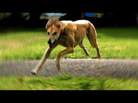 Greyhound Slow Motion