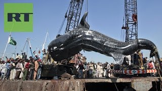 Hallan tiburón muerto en Pakistán
