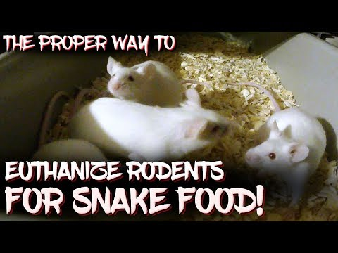 The proper way to euthanize rodents for snake food