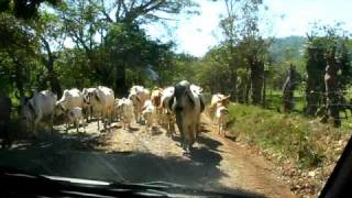 preview picture of video 'Cattle Drive outside San Francisco, Costa Rica'