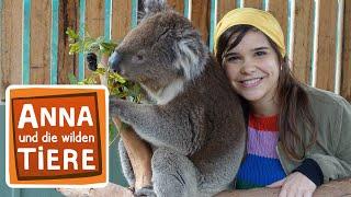 Voll Süß Koala! (Doku) | Reportage Für Kinder | Anna Und Die Wilden Tiere