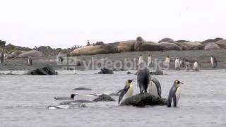 KING PENGUIN APTENODYTES PATAGONICUS ON COASTLINE BATHING WITH ELEPHANT SEALS ON BEACH OF ENDERBY IS