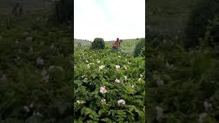 preview picture of video 'KILIMO CHA VIAZ LUSHOTO-TANGA'