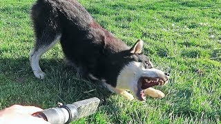 Malamute vs Leaf Blower - Funny Dogs Gus