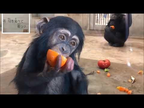 哺乳類の生態チンパンジー