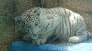 大きくなったホワイトタイガーの子供たち東武動物公園
