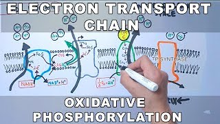 Electron Transport Chain and Oxidative Phosphorylation