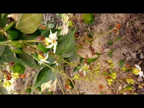 Video Harsringar Nyctanthes Arbor-tristis [Supplier & Exporter] Seeds, Oil & Extract