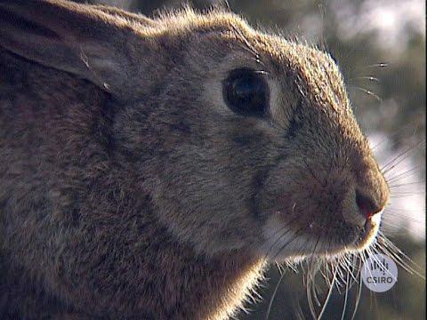 , title : 'Rabbit calicivirus (1999)