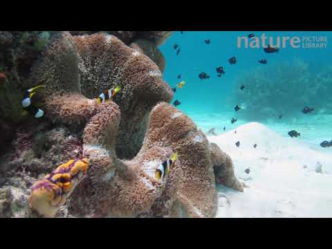 у анемона (Stichodactyla), лагуна Нусатупе (Nusatupe), Соломоновы острова