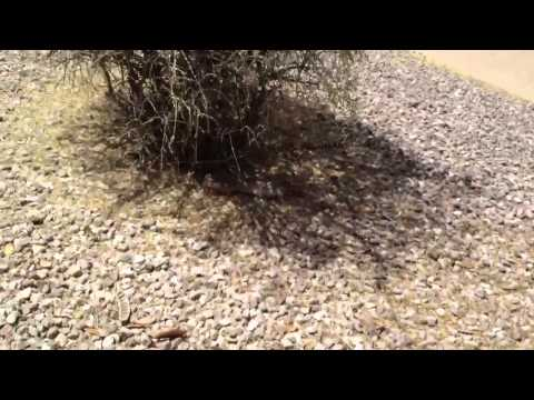 Rattlesnake Vs Prairie Dog