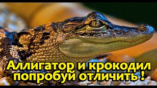 Как отличить аллигатора от крокодила