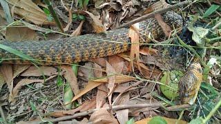 """Thăm bẫy rắn và nhìn rắn khủng mà """"lệ rơi """""""