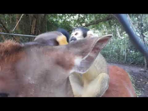 צפו: כשהקוף יושב על הראש של הצבי