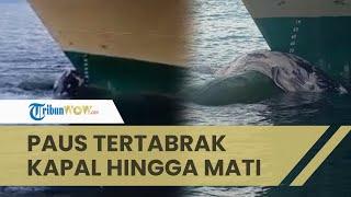 Paus Baleen Tertabrak Kapal Laut Hingga Mati, Tersangkut Hingga Terbawa ke Pelabuhan Manokwari