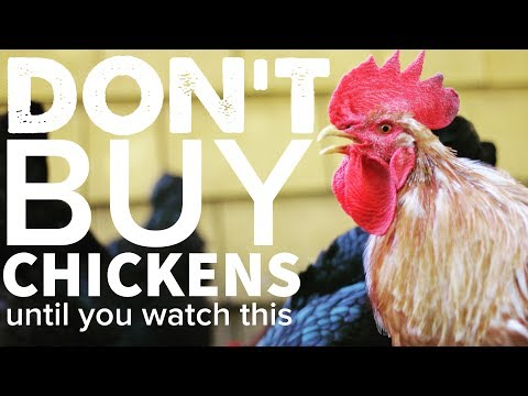 , title : 'DON'T BUY CHICKENS Until You Watch This...