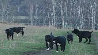 Щенки среднеазиатской овчарки (АЛАБАЙ) из БАШКИРИИ.