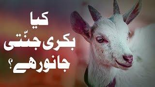 Short Quotes   Bakri Jannati Janwar Hai   Goat Heavenly Animal   Islam   Maulana Ilyas Qadri