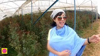 Cách Chăm Sóc Vườn Hoa Hồng Đà Lạt ,làng Hoa Vạn Thành