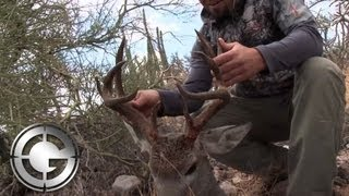 Giant Coues Deer In Mexico