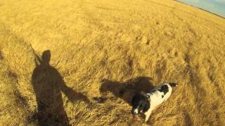 English Springer Spaniel Pheasant Hunting HD