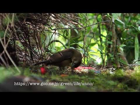 チャイロニワシドリのあずまや Amblyornis inornata